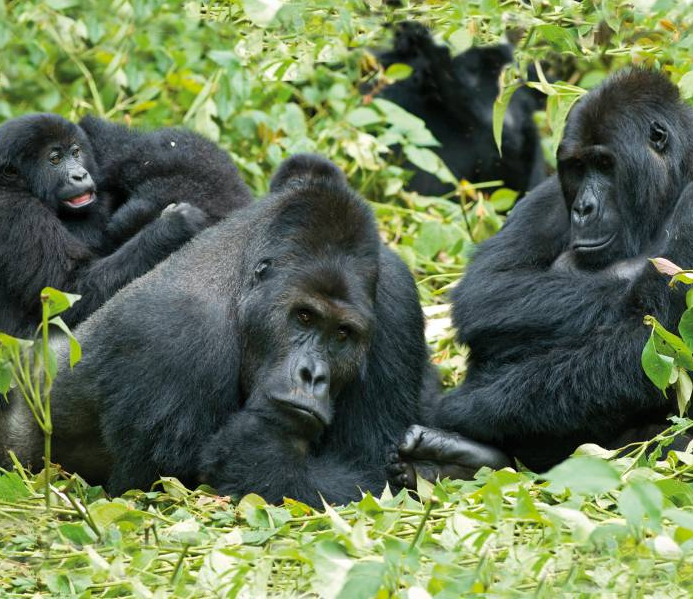 Gorillas-in-the-Jungle1.png